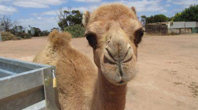 das-kleine-kamel